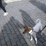 Pancho (Fox Terrier De Pelo Liso)