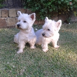 M & M (West Highland White Terrier)