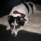 Ruby (Jack Russell Terrier)