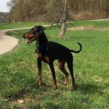 Rocky (Dobermann)