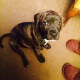 Bobbi (American Staffordshire Terrier)