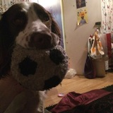 1 Dog (English Springer Spaniel)