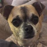 Django (Chihuahua)