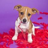 Jake (Jack Russell Terrier)