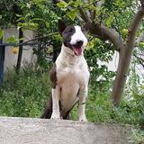 Pepe - Bull Terrier Miniatura