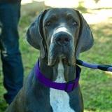 Cacha (Dogo Alemán)