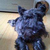 Bruno (Scottish Terrier)