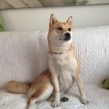 Yuki (Shiba)