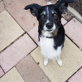 Mutcy (Border Collie)