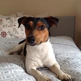 Diego (Jack Russell Terrier)