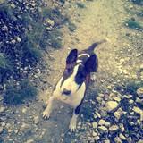 Kira (Bull Terrier)
