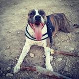 Dama (American Staffordshire Terrier)