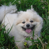 Smokie (Pomeranian)