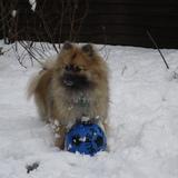 Prince (Pomeranian)