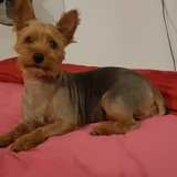 Lusy (Yorkshire Terrier)