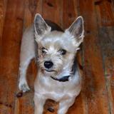 Chispi (Yorkshire Terrier)
