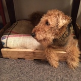 Lola (Airedale Terrier)