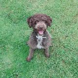Nora (Perro de Agua Español)