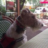 Lily (Fox Terrier)