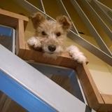 Kity (Fox Terrier)