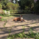 Betty  (Boxer)