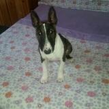 Shasa (Bull Terrier)