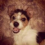 Exin - Parson Russell Terrier
