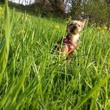 Amanda (Yorkshire Terrier)