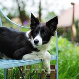 Finch (Border Collie)