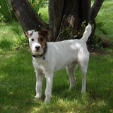 Barney (Parson Russell Terrier)