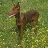 Clooney (Podenco Andaluz)