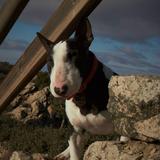 Bayron (Bull Terrier)