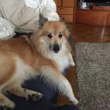 Bersi (Islandhund)