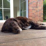Olivia (Deutscher Wachtelhund)