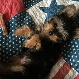 Blacky  - Yorkshire Terrier