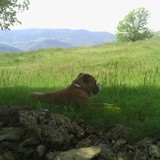 Bruno (Boxer)