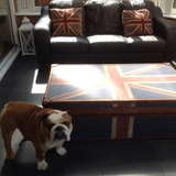 Steve - English Bulldog