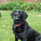 Luke (Labrador Retriever)