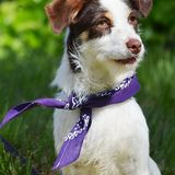 Serafina (Parson Russell Terrier)
