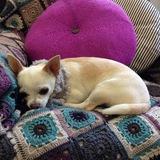 Winnie (Chihuahua)