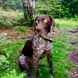 Lottie (German Shorthaired Pointer)