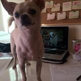 Luka (Chihuahua)