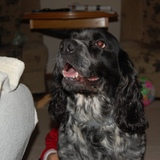 Sophie (English Springer Spaniel)