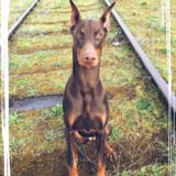 Alf (Dobermann)