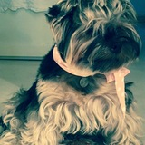 Leo (Yorkshire Terrier)
