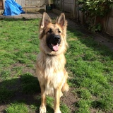 Koba (German Shepherd Dog)