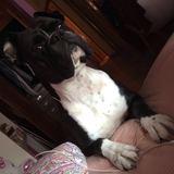 Choco (Boxer)