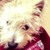 Pyper - West Highland White Terrier