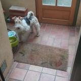 Chispa (Fox Terrier De Pelo Duro)