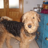 Zucco (Airedale Terrier)